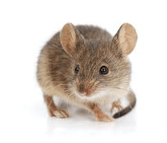 Misconceptions about rats