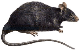 Rats sideview