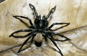 California trapdoor spider