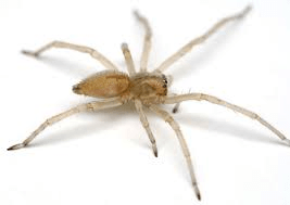 Long-legged sac spider