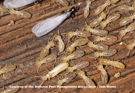Termites Pest Management